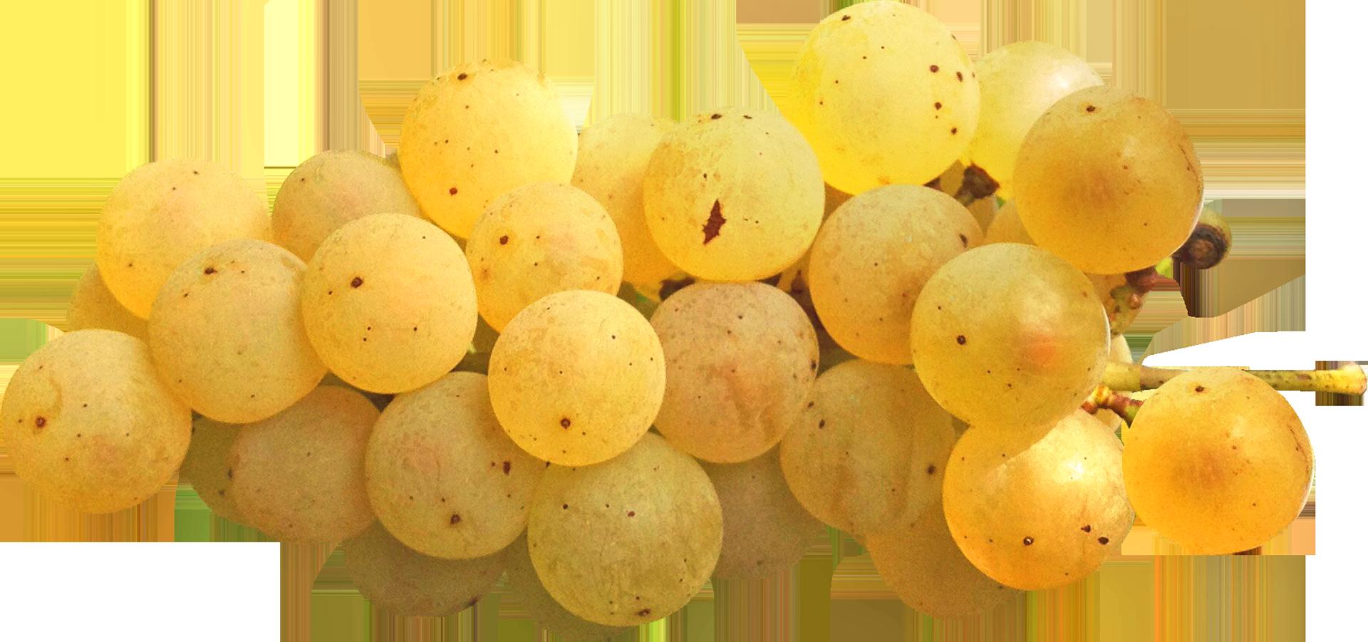 Ribolla Gialla - Image